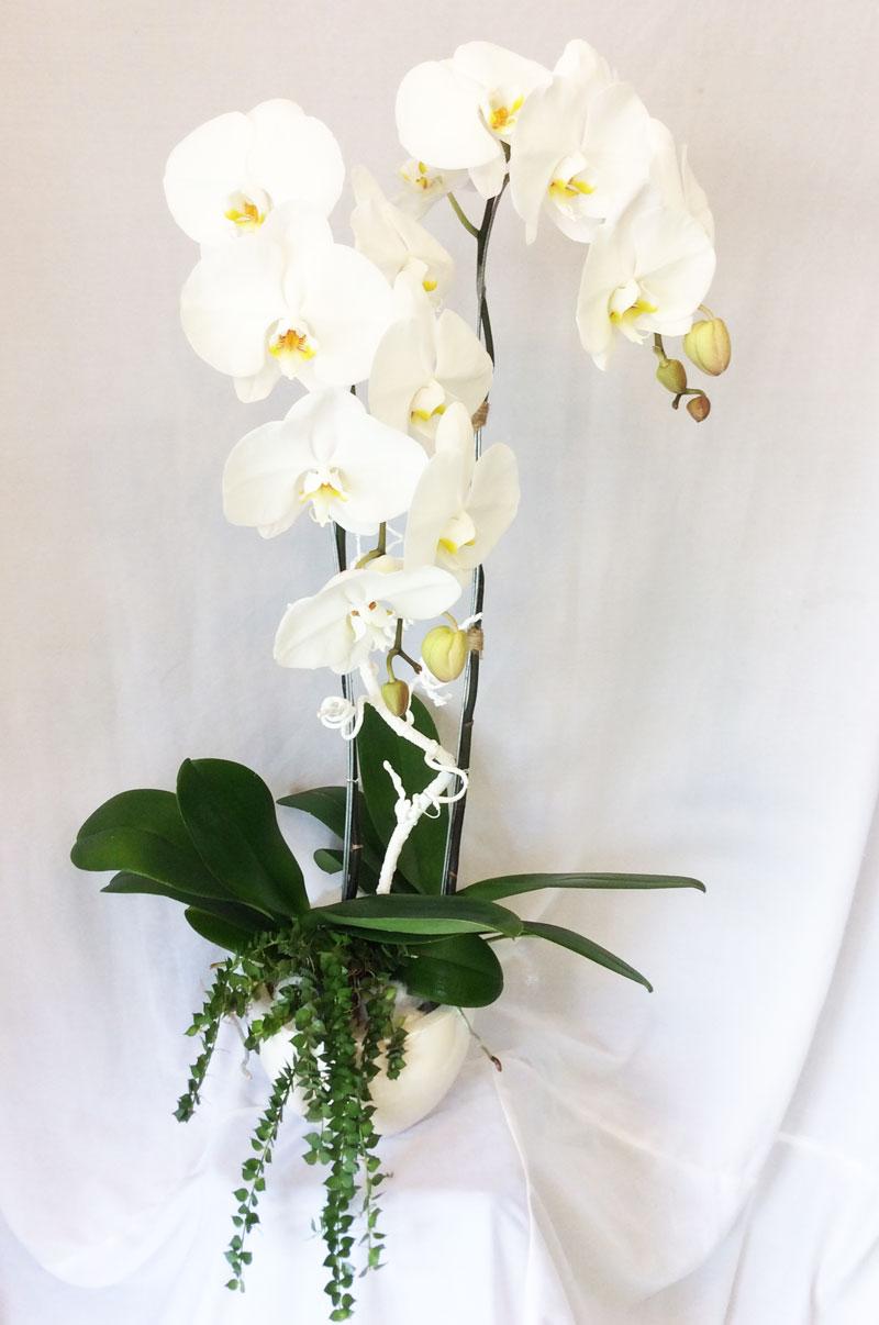 Lam hồ điệp màu trắng hoa lớn