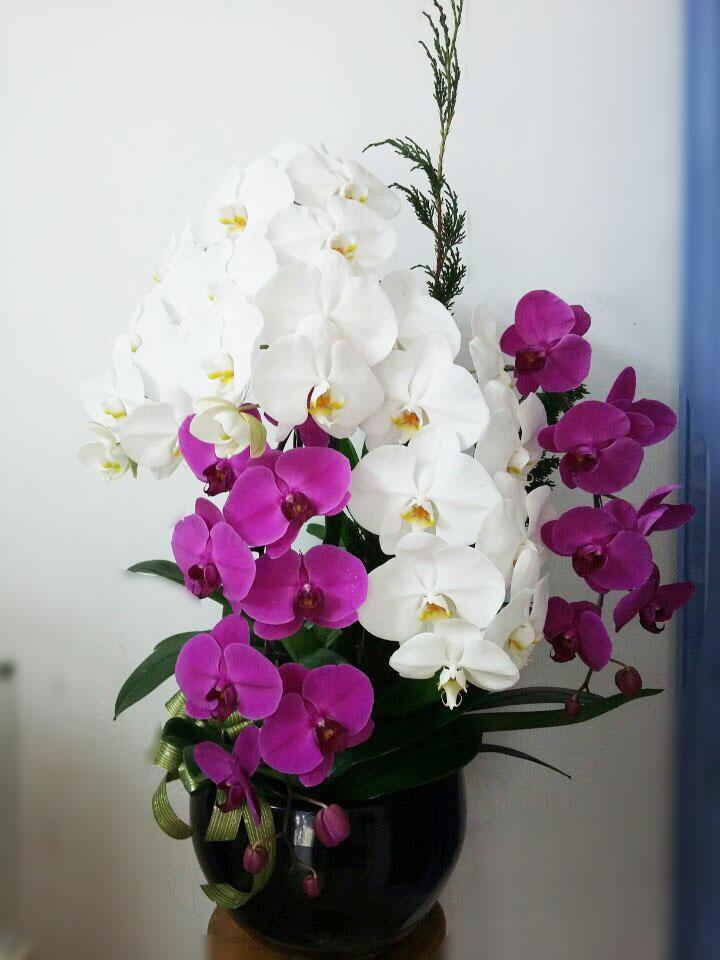 hoa lan hồ điệp trắng tím chậu đen -
