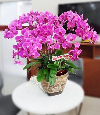 hoa lan hồ điệp tím rực rỡ sác màu